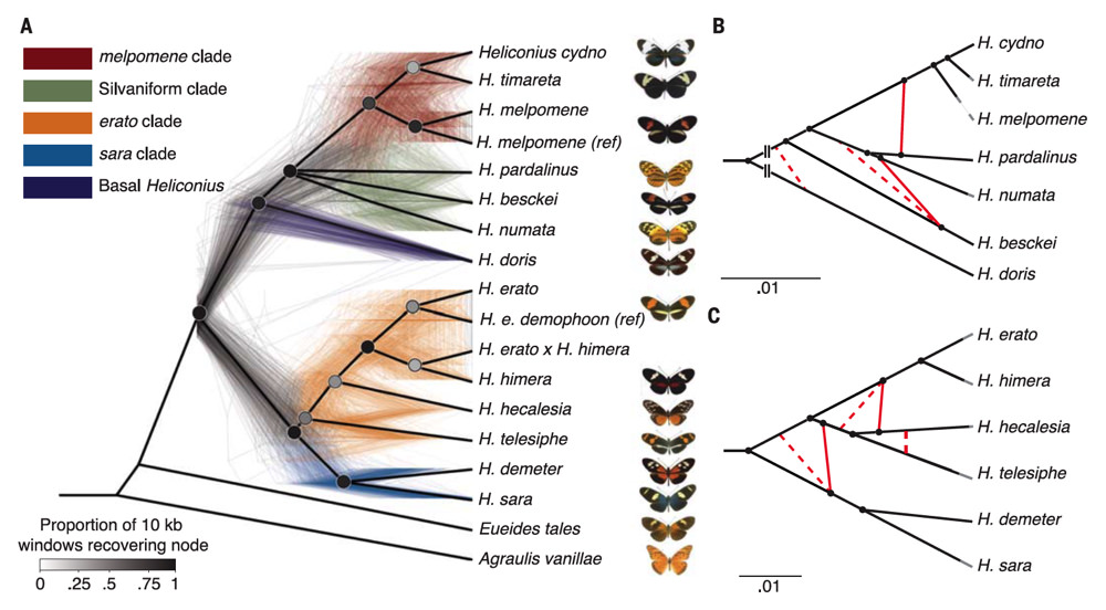 Genes continue to flow between species long after those species separate. This figure shows 500 different evolutionary trees for the genus Heliconius, each inferred from a different portion of the butterflies' genome.
