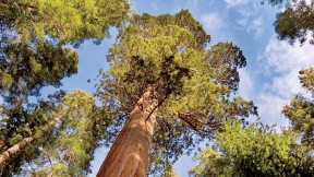 Looking up at a sequoia: For all their evolutionary advantages, mammalian species have shorter life spans than ants and trees.