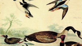 Alexander Wilson's colorful craft: a fanciful collection of waterfowl, from Harvard's archives