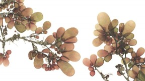 The wrack at your feet, made lovely: Josie Iselin&rsquo;s photograph of <i>Botryocladia pseudodichotoma, </i>sea grapes, from San Clemente Island, California