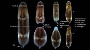 A photomontage showing how, when a whole panther worm is cut in two, the parts heal, form regeneration, and then develop into two complete panther worms.