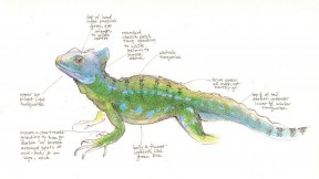 Using pencils, science illustrator Jenny Keller drew this basilisk lizard from a captive specimen. From <i>Field Notes on Science and Nature</i>