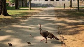 Photograph of hen turkey and poults in Harvard Yard