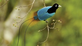 Blue Bird-of-Paradise, Tigibi, Tari area