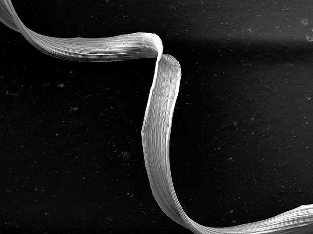 A lignified fiber from a coiled tendril, greatly  magnified