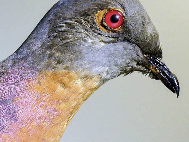 The now extinct passenger pigeon, at the Harvard Museum of Natural History