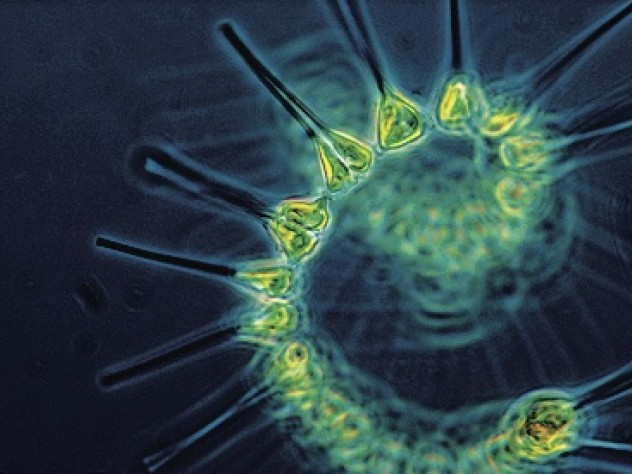 Phytoplankton, the base of the ocean food chain