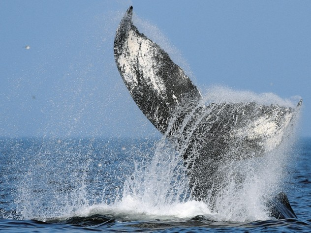 A diving humpback shows its flukes—a favorite sight for whale watchers.
