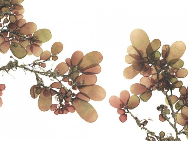 Josie Iselin&rsquo;s photograph of <i>Botryocladia pseudodichotoma, </i>sea grapes, from San Clemente Island, California
