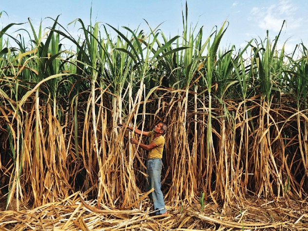 Sugarcane farmers, like this one near Ahmedabad, suffer seasonal scarcity—and the distortions from deprivation.