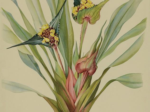 Margaret Mee painting of Rapataceae