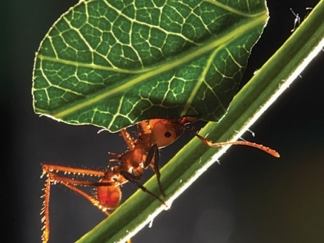 An <i>Atta cephalotes</i> worker carries a leaf to the nest.