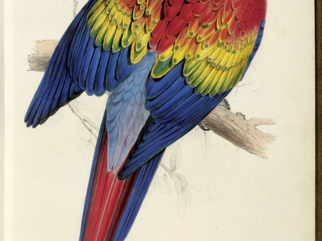 A hand-colored lithograph of the Scarlet Macaw <i>(Ara macao)</i> appeared in Lear's sumptuous book about parrots.