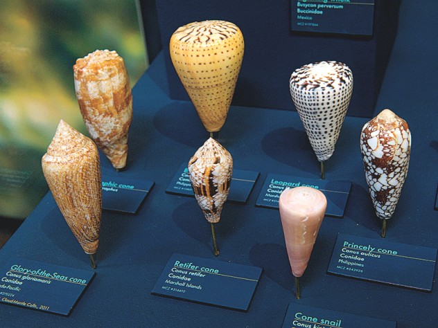 A selection of cone snail shells