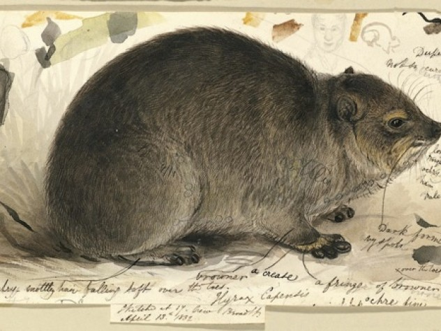 Study of a Rock Hyrax <i>(Procavia capensis)</i>