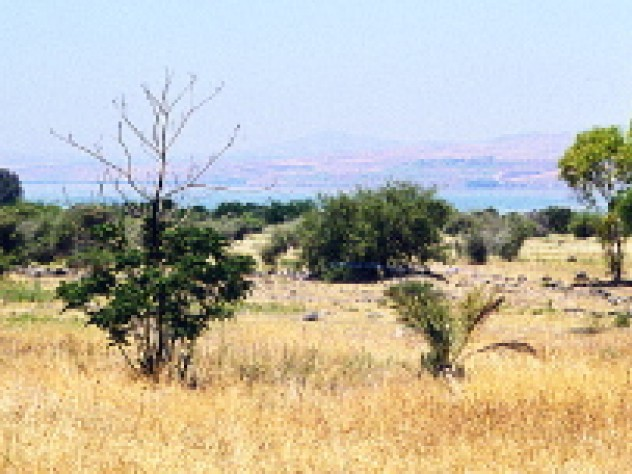 """A natural field of wild cereal near Lake Kinneret (the Sea of Galilee). The domestication of wild grains began in the western wing of the so-called """"Fertile Crescent""""--not throughout the region as we are often taught--and spread from there."""