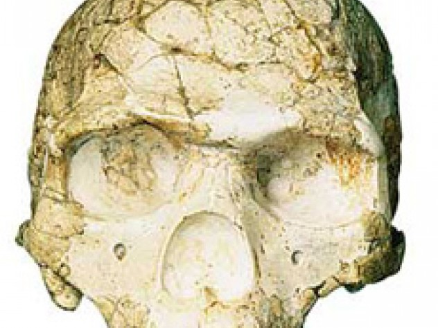 Skulls of a Neanderthal from Amud (not pictured) and an early human from Skhul show morphological differences between the two groups.