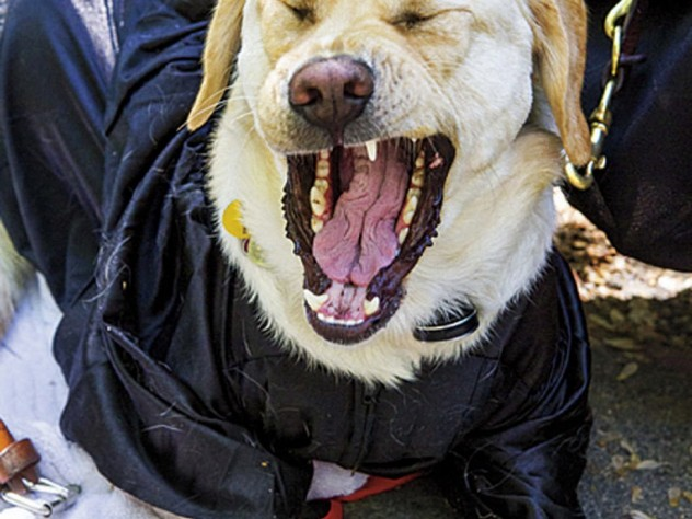 Canine critic Zoë, the seeing-eye dog of Kristin Anne Fleischner, J.D. '14, attends Commencement suitably attired.