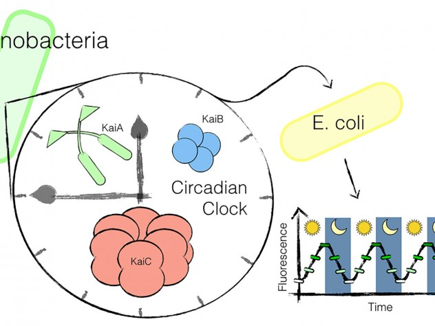 Researchers have transplanted a circadian clock from cyanobacteria into a gut microbe, <i>E. coli.</i>
