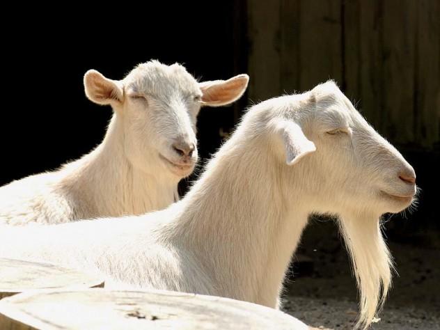 Goats roam the barnyard.