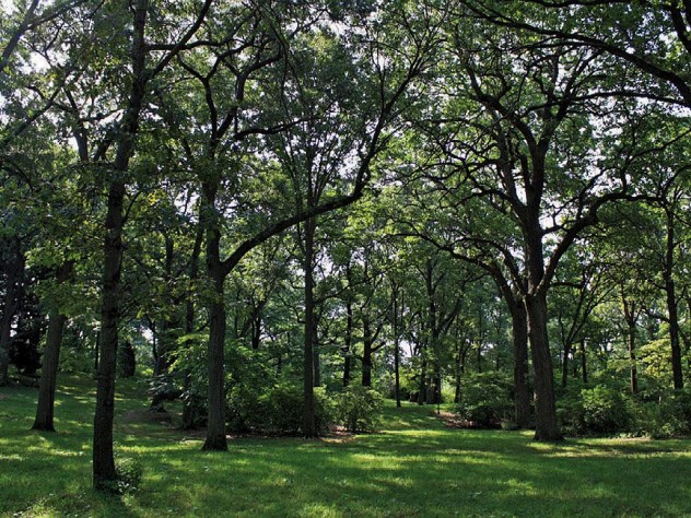 Shady grove of oak trees