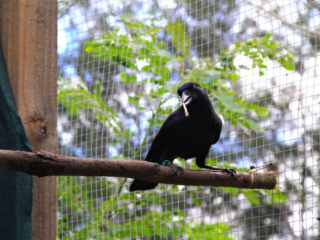 A crow perched on a branch inside an aviary holds a stick tool in its beak during downtime from the experiment