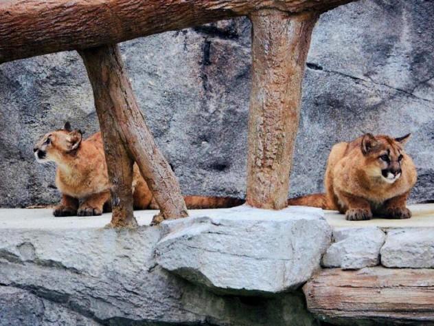 Wild cats at the Ecotarium