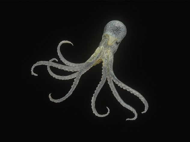 An image of a 13-centimeter glass model of Octopus fontanianus, found in the South Pacific.