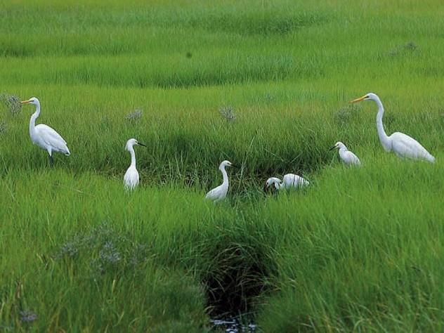 Beautiful white great egrets.
