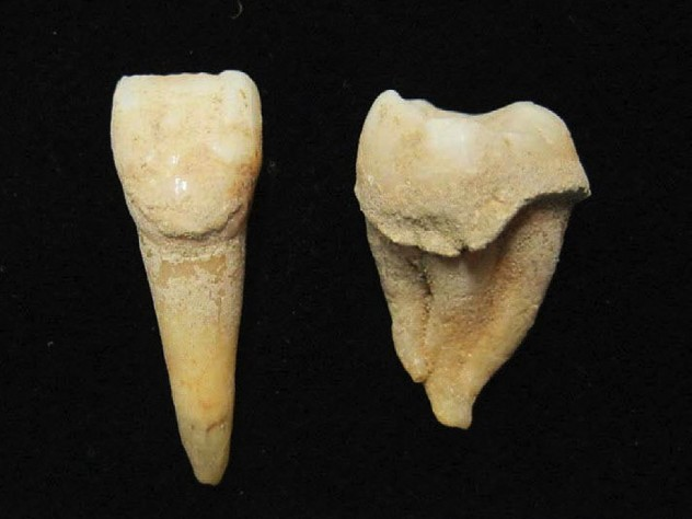 Two teeth from a man who lived 3,200 years ago, the plaque on which shows that his diet included sheep and goat milk.
