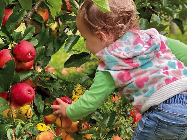 A child reaching for a red ripe apple in the orchards of Lookout Farm