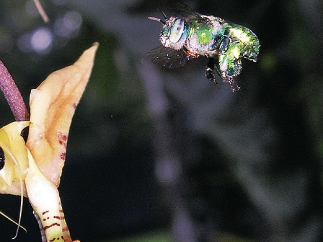 Orchid bees navigate turbulence by extending their massive hind legs to prevent rolling.
