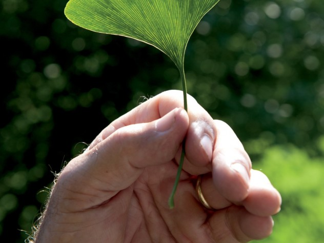 Scientist's subject: Peter Del Tredici holds a distinctly veined, fan-shaped leaf from a female <i>Ginkgo biloba</i> that he imported in 1983.