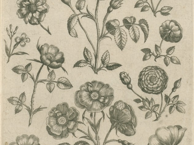 Adriaen Collaert, Rose from the series <i>Florilegium</i> (Collected images of flowers), Antwerp: Philip Galle, c. 1587–89. Engraving.