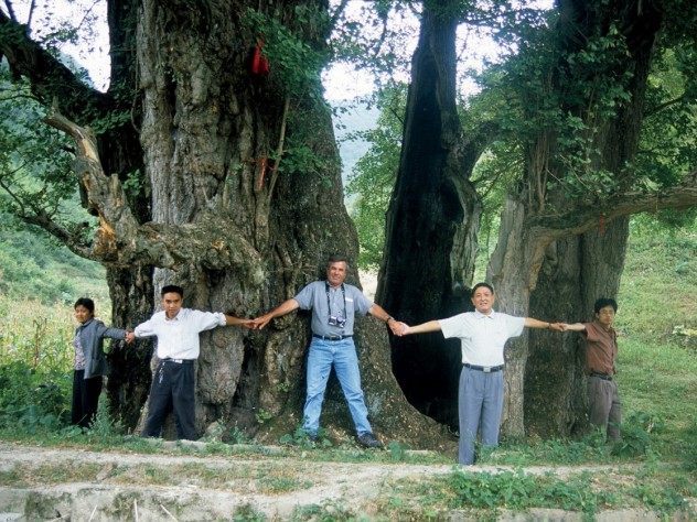 Del Tredici helps circle the male Li Jia Wan Ginkgo, in Guizhou: at 51 feet in circumference, the largest natural specimen known.