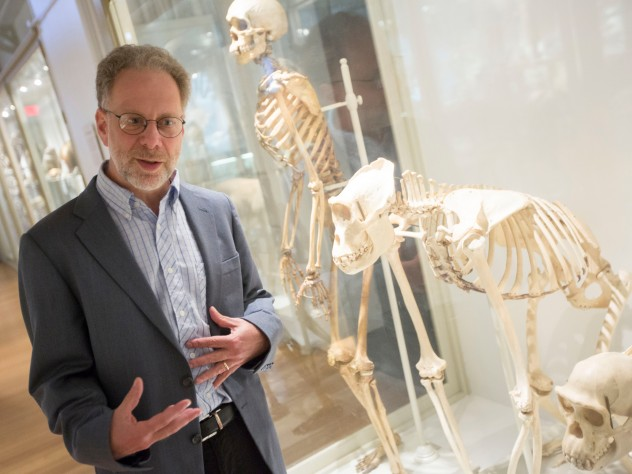 In his new book, <i>The Story of the Human Body,</i> Lerner professor of biological sciences Daniel Lieberman—shown with skeletons of a human being, an Eastern gorilla, and a chimpanzee at the Harvard Museum of Natural History—discusses major evolutionary developments and the relevance of our evolutionary heritage in relation to our problems today.