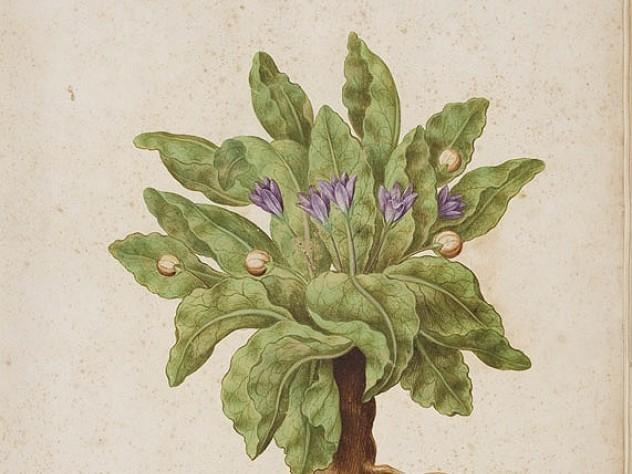 A mandrake, painted by Giovanna Garzoni