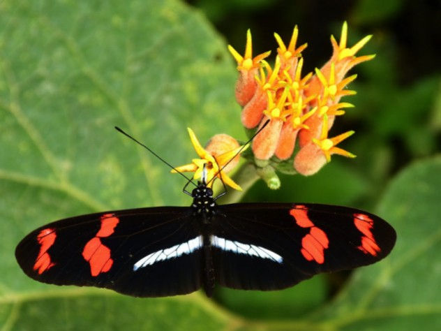 An image of a Heliconius Telesiphe butterfly