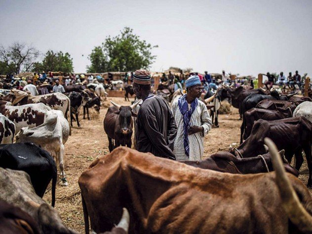 Emaciated cattle at a market in the Sahel region of Africa