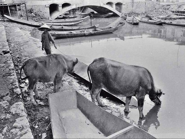 """Black and white photo, titled """"Cowherd,"""" with cattle at a river"""