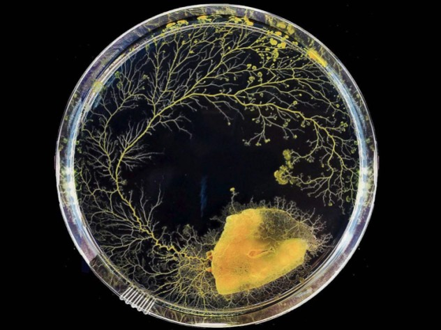 A sample of slime mold grows clockwise in a petri dish