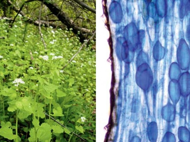At left, the invader, a biennial herbaceous plant about three feet in height, shown here growing lustily in the understory, might reconstitute North American forests. At right, symbiosis in action. Vesicles of fungi, shown in blue, colonize the feeding tip of a tree root, its walls shown in brown.
