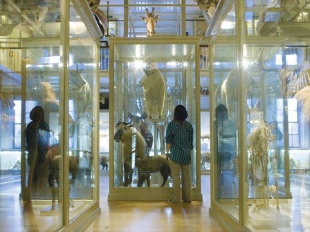 The newly renovated Great Mammal Hall at the Harvard Museum of Natural History