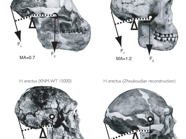 Differences of form lead to differences in function. Biomechanical analyses of inertial forces show that the three Homo specimens would have had a much easier time balancing the head while walking or running than would <i>Australopithecus.</i>