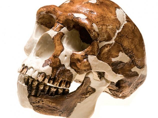 <i>Homo  erectus</i>