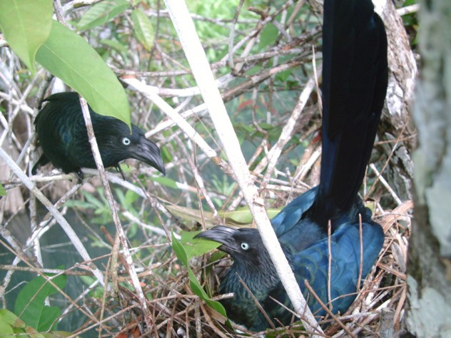 The clutch of eggs is guarded by many parents, although a single male typically covers the night shift.