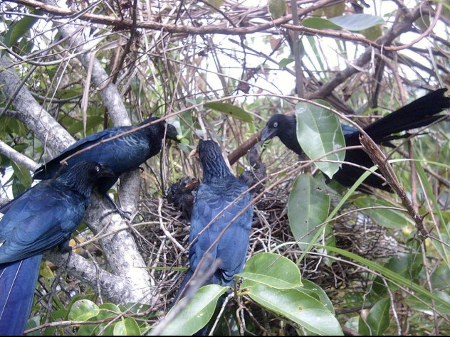 The breeding habits of tropical cuckoos, whose unrelated adults cooperate to rear young, have raised questions about the limits of kin selection in evolution.