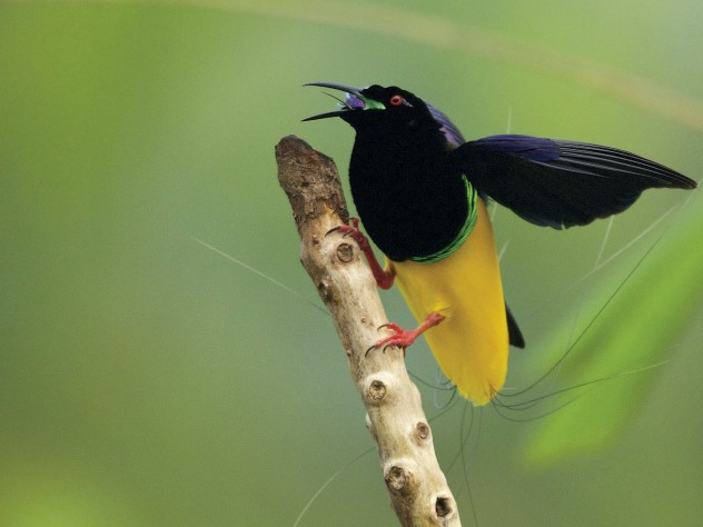 Twelve-Wired Bird-of-Paradise, Nimbokrang, Jayapura area