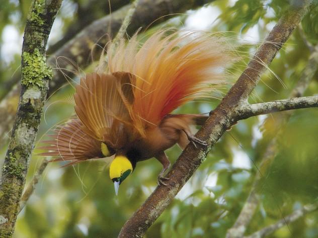 Raggiana Bird-of-Paradise, Kiburu, Mendi area