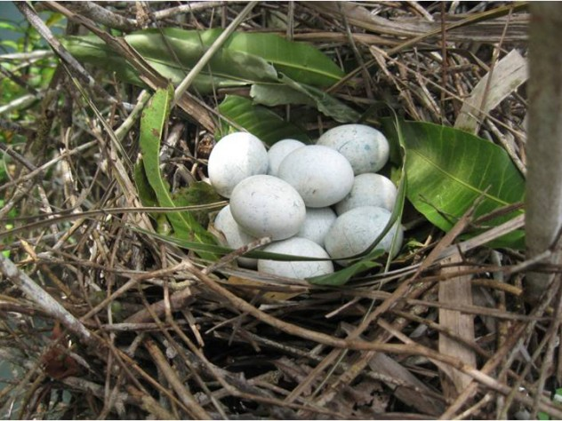 These eggs were deposited in a communal nest by unrelated mating pairs of tropical cuckoos.